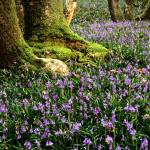 """bluebells mid wales"" by eyeontheworld"