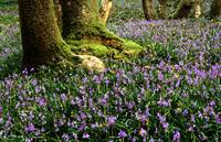 bluebells mid wales