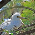 """Nesting Snowy Egret"" by albink"