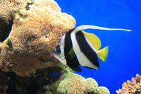 Angelfish, Monterey Bay Aquarium