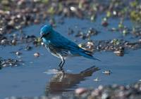 Blue Bird reflection