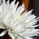 """""""Chrysanthemum"""" by brncos3"""