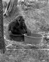 Gorilla in a Tub