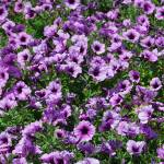 """Purple flowers"" by tnbphotos"