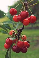 door county cherries