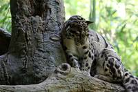 Cloud Leopard
