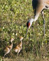 Sandhill Crane & Chicks