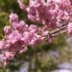 """cherry blossom"" by Tritch-Pix"