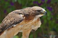 Redtailed Hawk Closeup