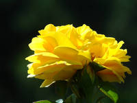 ROSE Yellow Rose Garden 2 Sunlit Rose Fine Art Pri