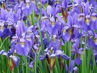 Iris Flowers Garden Purple Blue Irises 9 Art Print