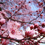 """SKY Blue Skies Pink Tree Blossoms 10 Art Prints"" by BasleeTroutman"