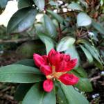 """red_flower"" by tlskarma"