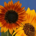 """""""Autumn Beauty Sunflower Two Blooms"""" by julieabrown"""