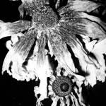 """""""Morbid flowers"""" by nash_m"""