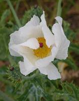White Prickle Poppy