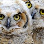 """Great Horned Owlets"" by PattysPics"