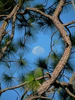 Viewing Moon Pine