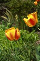 tulips in the sun