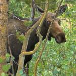 """""""Shy Moose"""" by scottvail"""