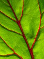 Beet Leaf Up Close