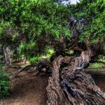 """Balboa Tree"" by moorefoto"