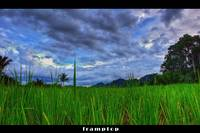 The Paddy Field
