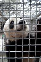 Tai Shan in Cage