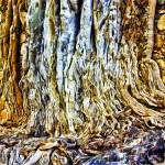 """Strangler Ficus Roots"" by johncorney"