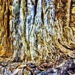 """Strangler Ficus Roots"" by johncorney"