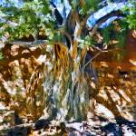 """""""Ficus Root in Adobe Wall"""" by johncorney"""