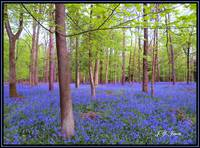 BEAUTIFUL BLUEBELLS