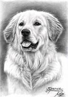 Golden Retriever Spence