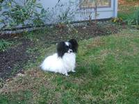 Black and White Papillon in yard.