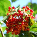 """Berries  found at Bear Branch Nature Center Westmi"" by joshgold"