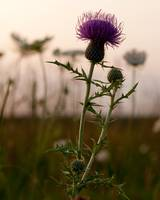 Purple Thistle at Sunset