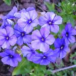 """Blue Phlox"" by Kirby"
