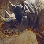 """Southern Black Rhino"" by kphotos"