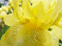 Iris Flower Yellow Irises Flora 11 Giclee Prints