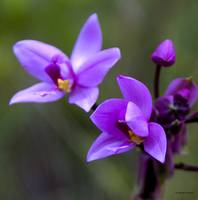 Hawaii Wild Orchid