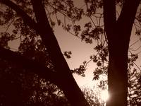 Trees & Leaves in Sepia
