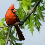 """A Cardinal Delight"" by tricia"