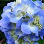 """""""Hydrangea Blue II"""" by BarryJohansen"""