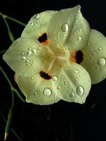 Raindrops on Dietes I