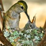 """Broad-tailed Hummingbird Mom & 2 Babies"" by PattysPics"