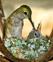 Broad-tailed Hummingbird Mom & 2 Babies