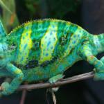 """""""Chameleon"""" by JSHollands"""