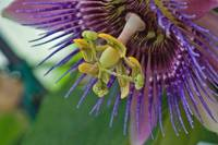 Purple Points - Passion Flower