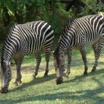 """Zambian Zebras grazing"" by InspiringImages"