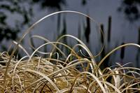 Curly Grass